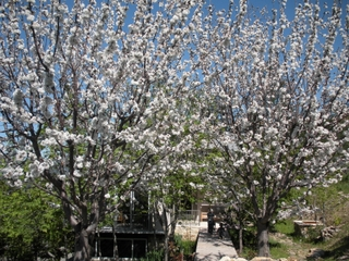 Cherry blossoms at Vineyard home